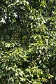Pterygota alata var irregularis - Agri-Horticultural Society of India - Alipore - Kolkata 2013-01-05 2218.JPG