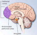 medial view of the right cerebral hemisphere showing the location of the prefrontal cortex at the front of the brain and more specifically the medial prefrontal cortex and ventromedial prefrontal cortex.