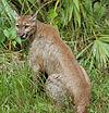 Puma concolor coryi cropped.jpg