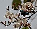 Purple Sunbird (Cinnyris asiaticus) on Bauhinia variegata var candida W IMG 4665.jpg