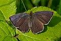 Purple hairstreak (Neozephyrus quercus), Parc de Woluwé, Brussels (31877173456).jpg