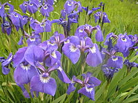 Purple irisP1010056.JPG