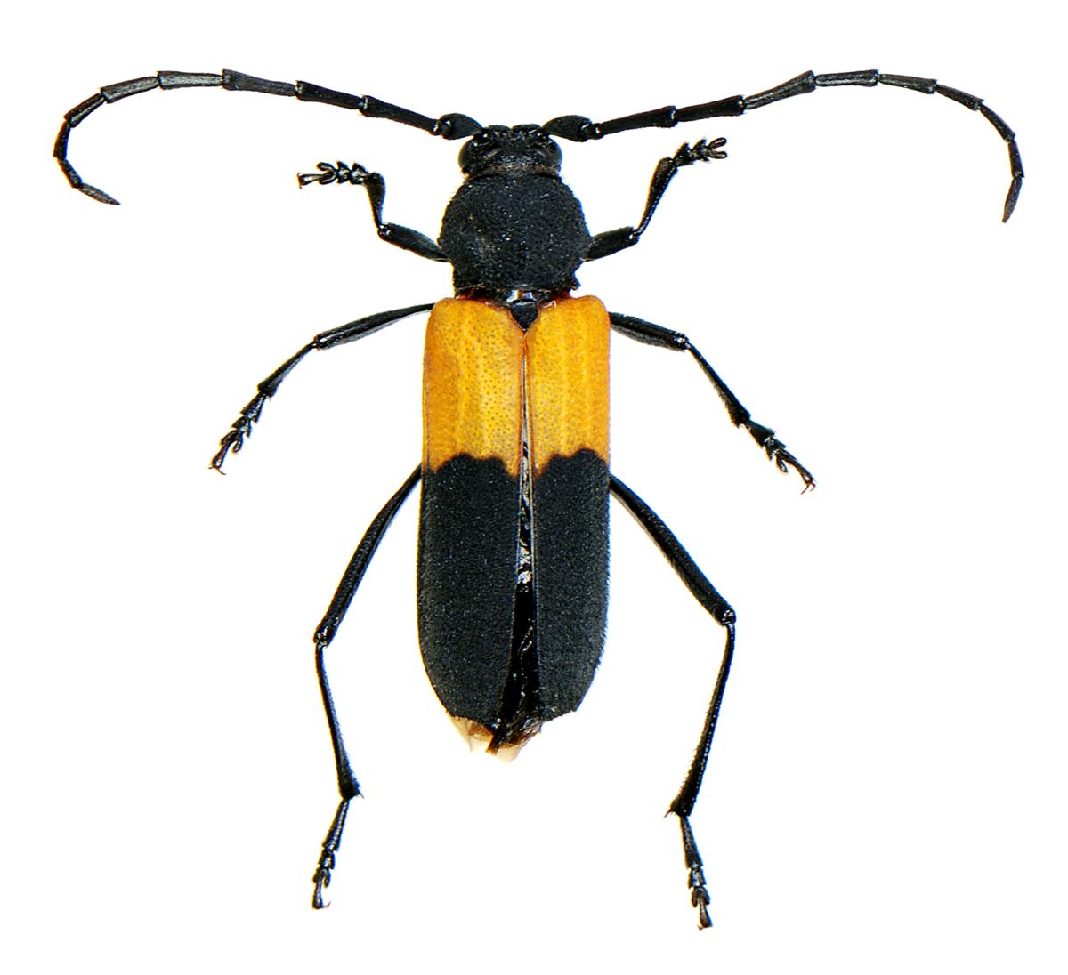 Purpuricenus axillaris - Wikipedia