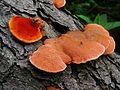 Pycnoporus cinnabarinus 85917.jpg