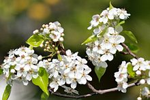 Pyrus calleryana wikipedia clusters of white flowers callery pear blossoms mightylinksfo