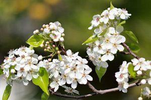 Pyrus calleryana - Callery pear blossoms