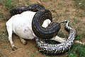 Python natalensis constricts a goat, Zimbabwe2.jpg