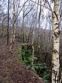 Quarry edge reclaimed by birch woods - above Fetter Hill - Feb 2014 - panoramio.jpg