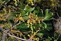 Quercus douglasii-20.jpg