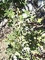 Quercus lobata-5.jpg