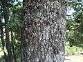 Quercus pyrenaica 11.JPG