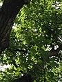 Quercus rubra (Red Oak) C31-2.jpg