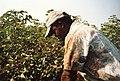 Récolte du coton à El Carmen - Pérou 07.JPG