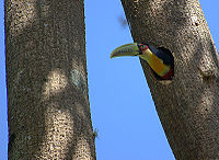 Toucans, like this Red-breasted Toucan, nest in hollows in trees