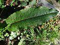 Ramularia rubella a1 (3).jpg