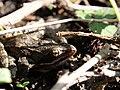 Rana arvalis in the Teufelsbruch swamp 2.jpg