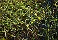 Ranunculus flammula 1.jpg