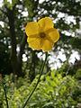 Ranunculus lingua004.jpg