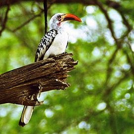 Red-billed hornbill.jpg