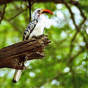 Red-billed hornbill -  T. rufirostris