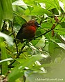 Red-throated Ant-Tanager (2787615275).jpg