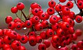 Red Berries (8119043808).jpg