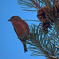 Red Crossbill (5361001838).jpg