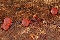 Red Cup fungus, Mason Neck, Virginia (37685592935).jpg