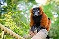 Red Ruffed Lemur (50350440036).jpg