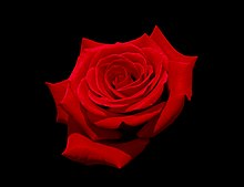 Red rose with black background.jpg