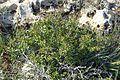 Rhamnus lycioides kz6.jpg
