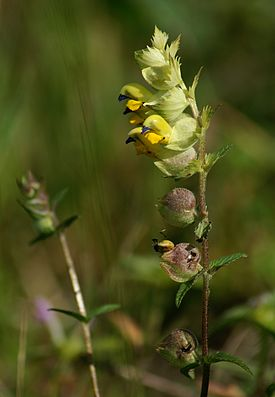 Rhinanthus angustifolius Großer Klappertopf 1.JPG