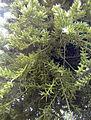 Rhipsalis mesembryanthemoides.jpg