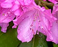 Rhododendron (27333560510).jpg