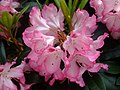 Rhododendron (Rhododendron) (1).jpg
