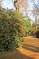 Rhododendron (SG) (33216788122).jpg