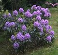 Rhododendron Blauer Peter Mai 2016.jpg