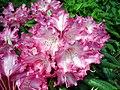 Rhododendron Yakushimanum Group Emanuela1UME.jpg