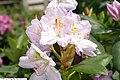Rhododendron catawbiense Roseum Elegans 2zz.jpg