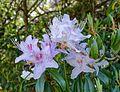Rhododendron davidsonianum - Caerhayes Castle gardens - Cornwall, England - DSC03261.jpg