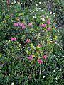 Rhododendron ferrugineum01.jpg