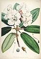 Rhododendron griffithianum.jpg