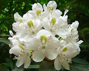 image of cluster of flowers of Rhododendron ma...