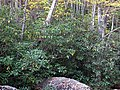 Rhododendron maximum (Fox Creek, Grayson County, Virginia, USA) 3 (30304682382).jpg