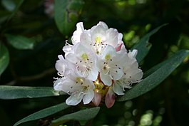 Rhododendron maximum flowers 8601.JPG