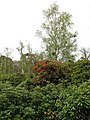 Rhododendrons and birches - geograph.org.uk - 777413.jpg