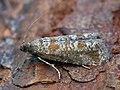 Rhyacionia pinivorana - Spotted shoot moth (41237399352).jpg