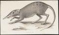 Rhynchocyon cirnei - 1700-1880 - Print - Iconographia Zoologica - Special Collections University of Amsterdam - UBA01 IZ20900079.tif
