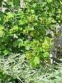 Ribes aureum gracillimum (17064420735).jpg