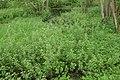 Ribes nigrum kz03.jpg